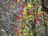 bright red honeysuckle vine