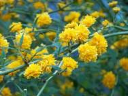 kerria blossoms