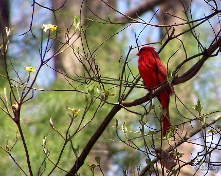cardinal in a dogwood tree