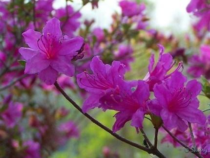 neon pink azalea
