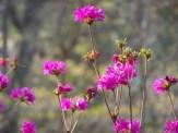 bright pink azalea flowers