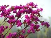 deep pink azalea