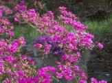 bright pink azalea in bloom