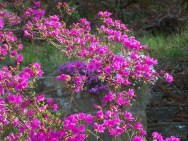 bright pink azalea in bloom