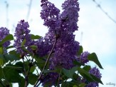 lilacs in late evening light