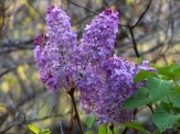 lilac clusters