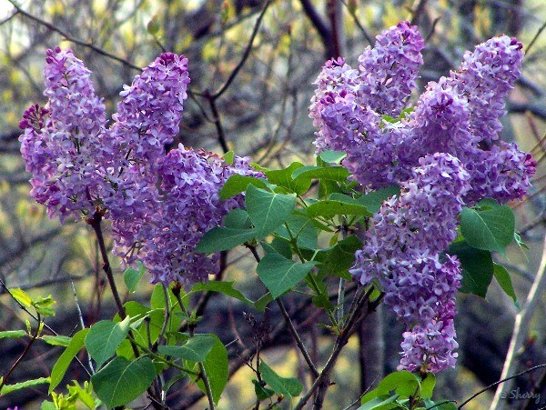 lilacs sherry s place
