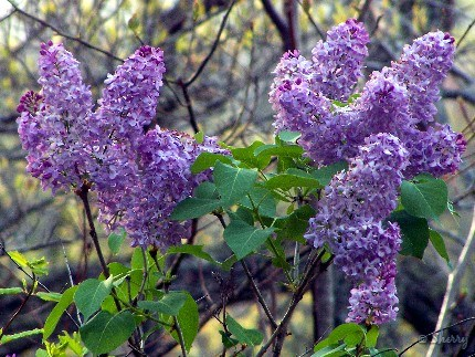 clusters of lilacs