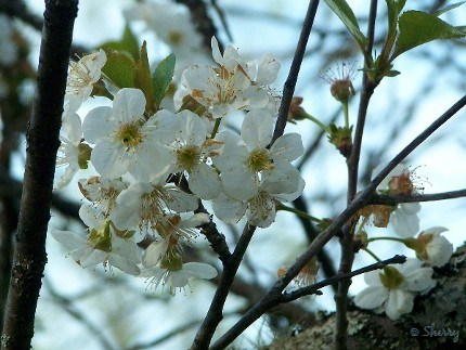 cherry tree at peak bloom this week
