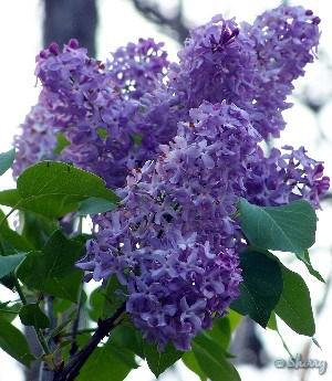 dark purple lilac blooms