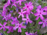 purple creeping phlox