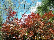 bright redtip photinia shrub