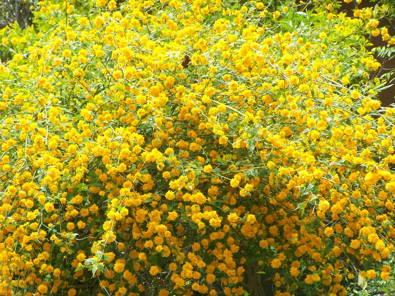 Japanese Kerria Shrub http://terra4incognita.wordpress.com/2008/04/19/kerria/