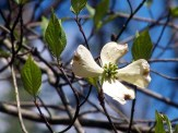 closeup of dogwood flower