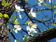 bright white dogwood blossoms
