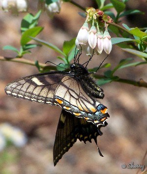 butterfly on a blueberry flower