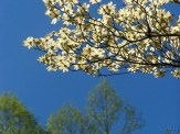 branch of dogwood flowers
