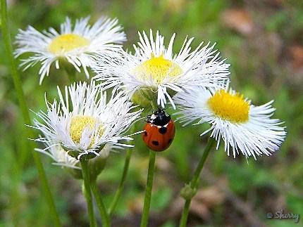 white fleabane daisies and ladybug
