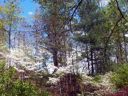 dogwoods at the edge of the woods