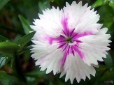 white and pink dianthus