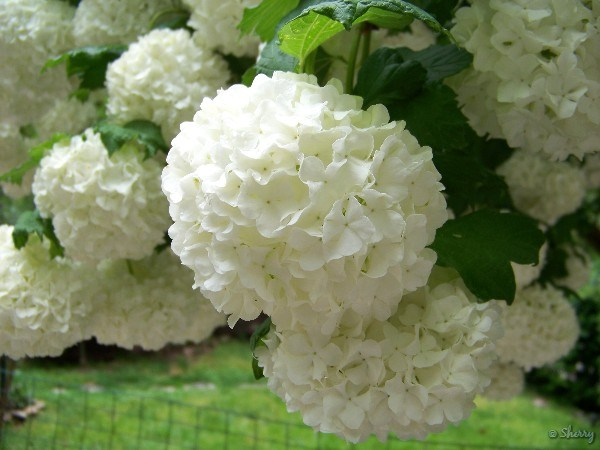 Snowball viburnum sherrys place snowball flower clusters white snowballs closeup of flowers mightylinksfo