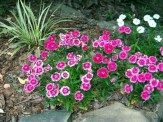 dianthus in a rock wall flowerbed