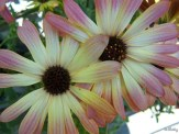Bicolor African Daisy
