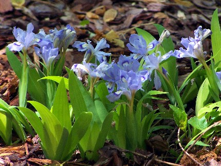 wild dwarf irises