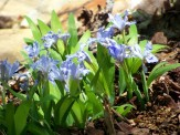small clump of dwarf iris