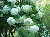 snowball flower clusters