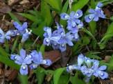 dwarf iris blooms