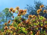 tall flame azalea in bloom