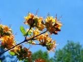 flower clusters of flame azalea