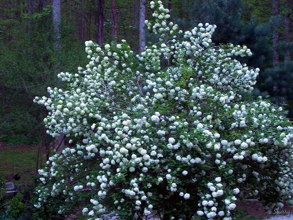 Snowball viburnum sherrys place heavy with blooms bright white flowers glow in the dark white flowers mightylinksfo