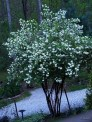 snowball blooms in twilight