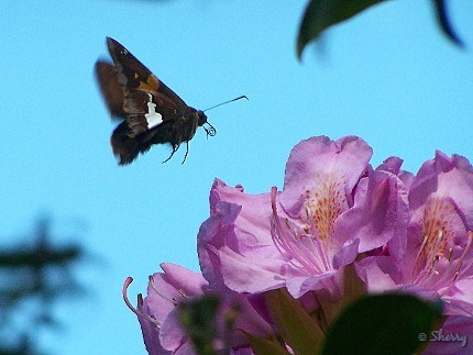 butterfly and rhododendon flower