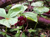 trilliums and other wildflowers