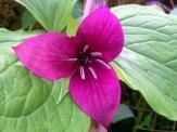 bright mauve colored trillium flower
