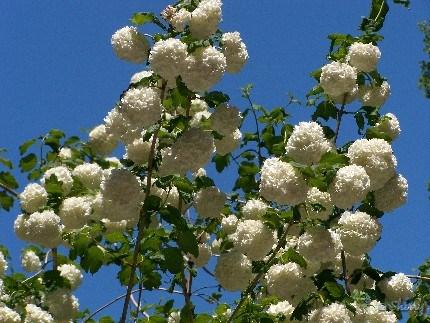 snowball blooms