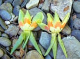 Tulip Poplar flowers