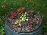 mixed color coleus in a cast iron pot