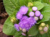 purple ageratum