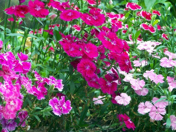 Dianthus plants and flowers