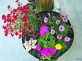 dianthus and mixed annuals