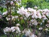 Mountain Ivy shrub