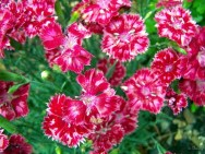 evergreen dianthus