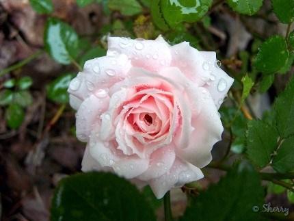 miniature rose blossom