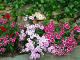 pinks in a narrow border