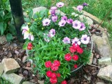 pinks and mixed annuals