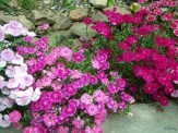 clumps of dianthus blooming